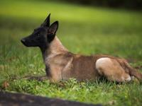 2 Belgian Malinois for sale . 1 male 1 female . Female