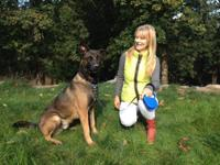 Beautiful Belgian Malinois 14 month old male. Young,