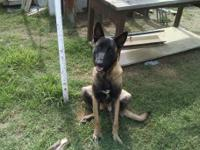 Big beautiful female Belgian Malinois, 10 months old,