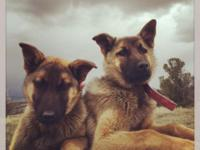 I have two female Belgian Malinois for sale. These are