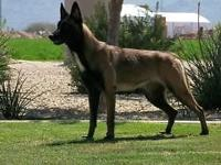 BELGIAN MALINOIS PUPPIES FOR SALE. PUPPIES ARE 10 WEEKS