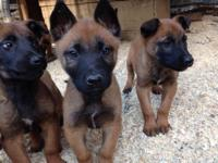 There are 5 male and 1 female complete blooded Belgian