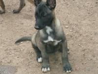 Hello I have 8 Belgian malinois puppies ready for a