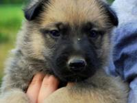We presently have 7 Belgian Malinois puppies available.