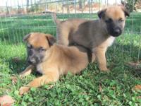 8 Week old Belgian malinois puppies. They have had