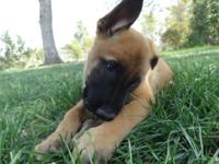 8 WEEK OLD BELGIAN MALINOIS PUPPIES. I HAVE TWO FEMALES