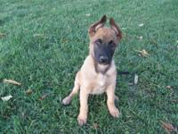 BELGIAN MALINOIS PUPPIES. I HAVE ONE FEMALE LEFT. THIS