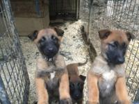 4 Belgian Malinois puppies three female one male nine