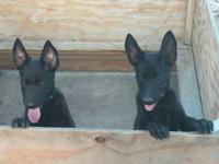 Very sweet puppies ready to be placed in a new home.