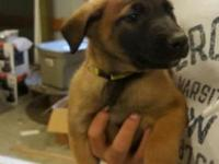 Belgian Malinois Puppies for sale. We have 2 males