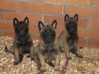 Cute Belgian Malinois puppies, 7 weeks old. Only four