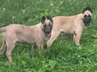 Posting for my dad! He has a male belgian malinois pup