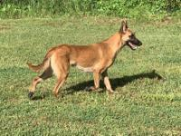 Akc Belgium Malinois Puppies Born 04/18/2019. Sire is