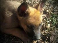 Belgian Malinois for sale. Born 11-28-13. 2 females and