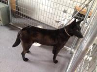Full blooded belgian malinois mother and father on