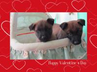 Belgian Malinois Pups 7 Weeks Old 1 Male and 1 Female