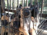 I have a litter of Purebred Belgian Malinois for sale.