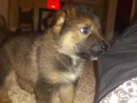 Molly is a 10 week old pure bred Belgian Malinois
