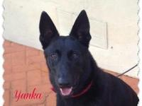 Belgian Sheepdog- Malinois Female for sale three years