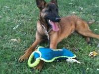 Belgian Shepherd Malinois - (adopted) - Large - Young -