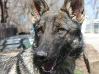 Belgian Shepherd Malinois - Angel - Large - Young -