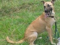 Belgian Shepherd Malinois - Blondie - Medium - Young -