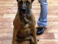 Belgian Shepherd Malinois - Iris - Medium - Adult -