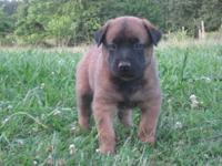 Belgian Shepherd Malinois - Nigel - Medium - Young -