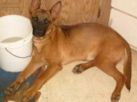 Belgian Shepherd Malinois - Sadie - Medium - Young -