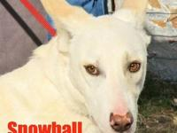 Belgian Shepherd Malinois - Snowball - Large - Young -