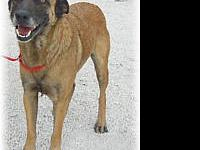 Belgian Shepherd Malinois - Susie - Large - Adult -