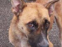 Belgian Shepherd Malinois - Sylvia - Medium - Adult -