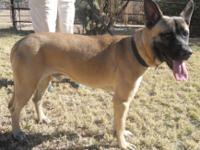 Belgian Shepherd Malinois - Zoey - Medium - Young -
