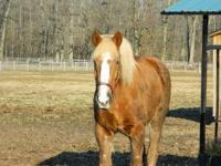 Belgian - Livy - Large - Adult - Female - Horse Liv is