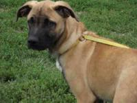 Belgian Shepherd Malinois - Harpo - Small - Young -