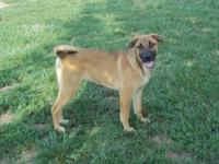Belgian Shepherd Malinois - Minnie - Medium - Young -