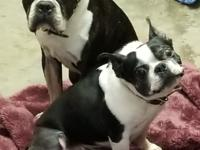 Bella is a 10 year old Boston. She is very sweet and