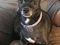 Bella's story Bella is a 7 year old chi. She was never