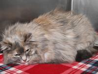Bella is a sweet 7-year old female Dilute Tortoiseshell