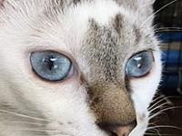 Bella's story Blue Eyed Bella is a full grown cat that