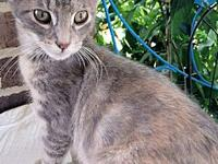 Bella's story Bella is a female pastel Torbie kitten,