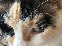 Bella's story Hi, I'm a beautiful calico with pale blue
