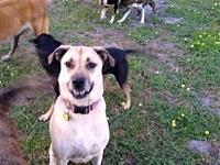 Bella's story Bella is a 3 yr old shep/mastiff mix. She