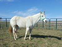 18 year old Arabian mare looking for a forever home.