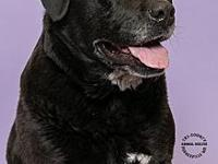 Bella's story 155421- Bouncy laid back Lab looking for