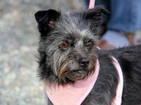 Bella is a Yorkie and Miniature Schnauzer Mix. She is