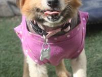 Bella is an 8yr old , 13lb, Pomeranian that is looking