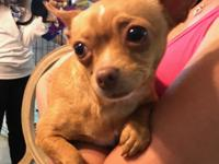 Bella - Is a 4 yr old Chihuahua. She is not spayed yet