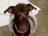 Bella Rose's story Breed: Chihuahua/Dachshund mix Age: