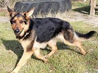 Bella's story This 22 month female Shepherd mix is a